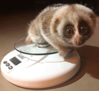2. The tiny loris only weighed 180g when she was confiscated in Beirut - ©Animals Lebanon
