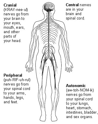 Peripheral nervous system (PNS)| Interactive Health