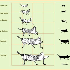 Cricket Life Cycle Diagram Wiring For Genie Garage Door Opener Stages Of A Grasshopper Pictures To Pin On Pinterest
