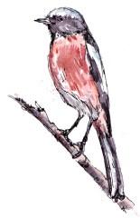 white-throated-redstart