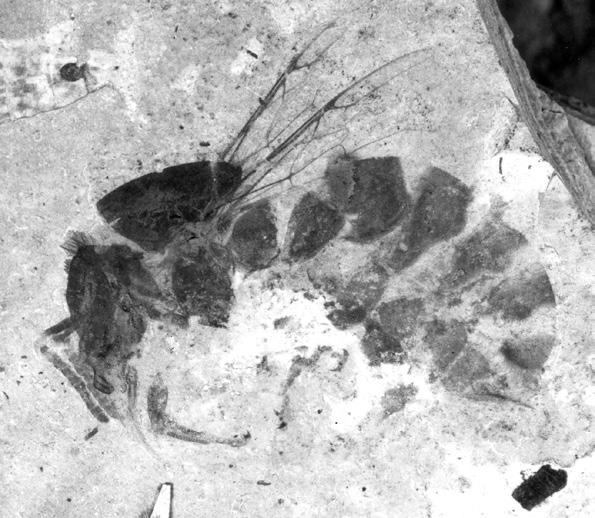 Abeille Fossile