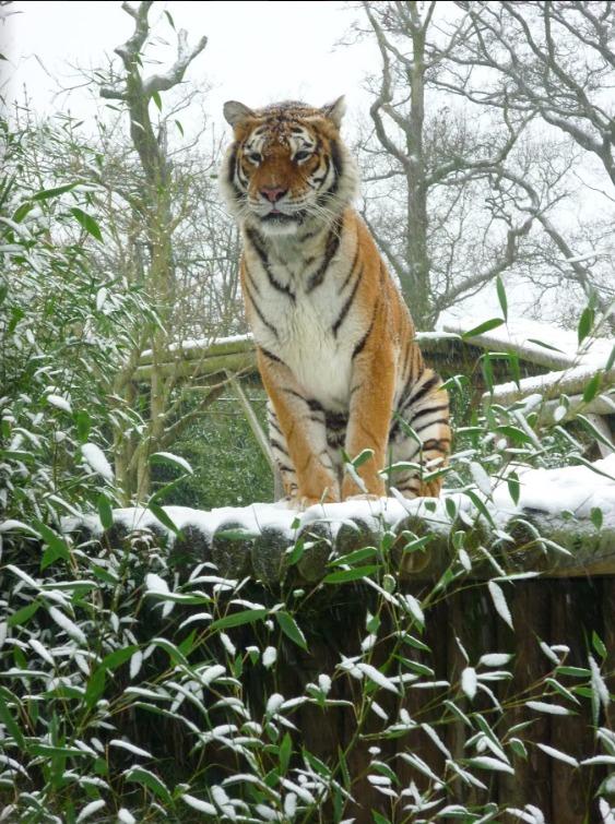 pwp-christmas-tiger