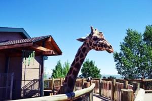 cheyenne mountain zoo_giraffe_02
