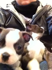 boston terrier_08