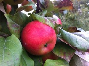 apple picking_03