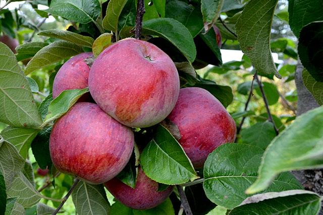 Apple Picking_Cider HIll Farm_01