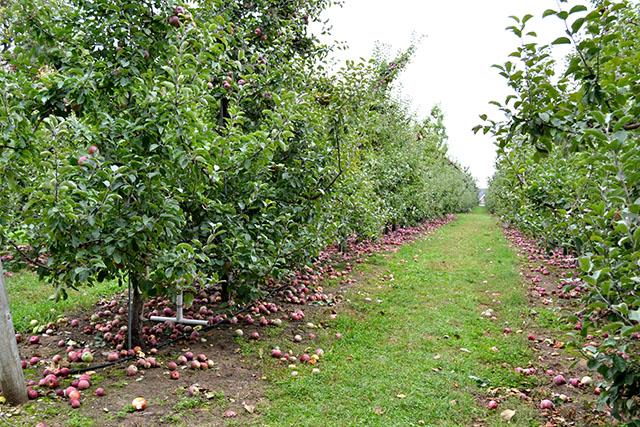 Apple Picking_Cider Hill Farm_08