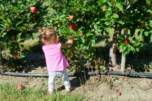Apple Picking_Tougas Family Farm-14