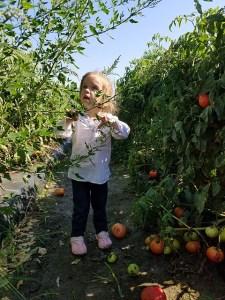 Tomato Picking_Apollo Beach_FL_07