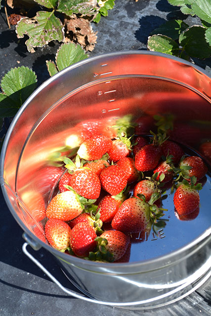 adventures-in-strawberry-picking_06