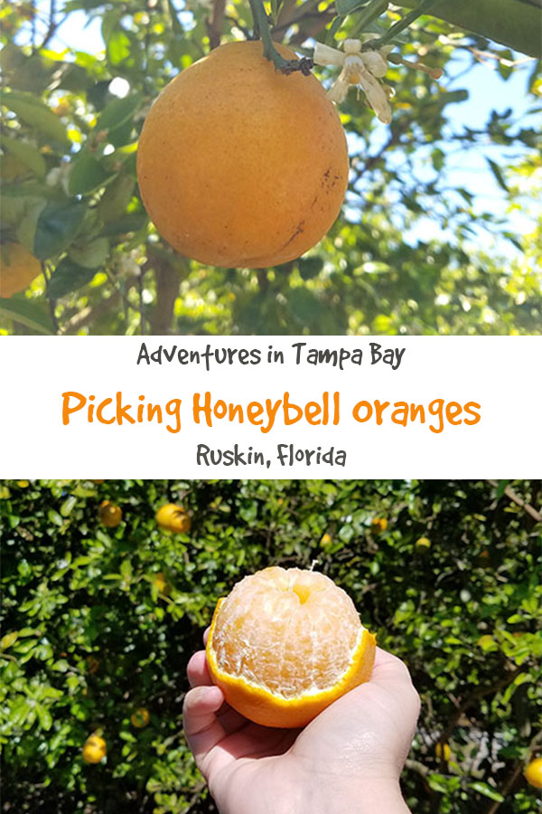 Picking Honeybell Oranges.jpg