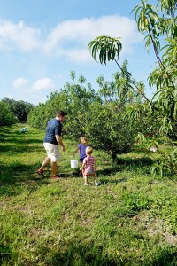 Father and children picking peaches amongst rows of peach trees at farm