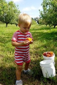 Boy eating a peach from a white bucket between peach trees at farm