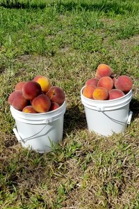 Two full buckets of peaches on green grass