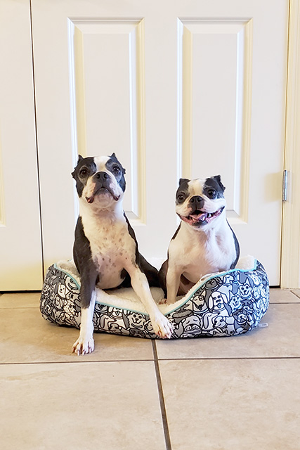 2 Boston Terriers sitting on a black and white dog bed