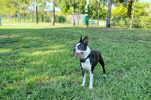 Boston Terrier standing in middle of dog park