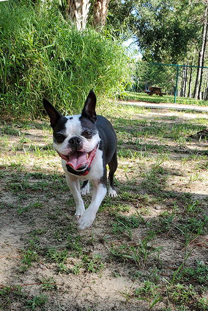 Small Boston Terrier smiling at dog park