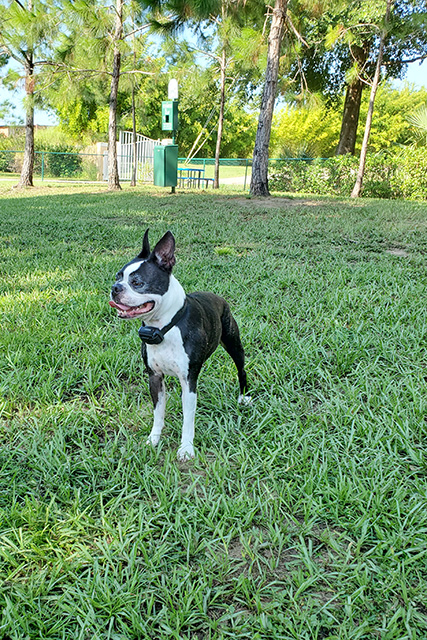 Boston Terrier with mouth open looking alert at dog park