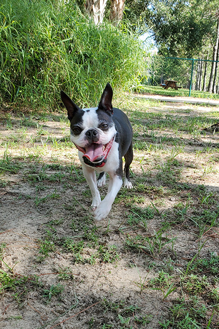 Boston Terrier Dog with happy open mouth at dog park
