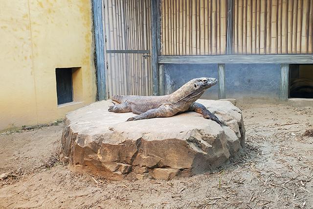 komodo dragon at Jacksonville Zoo animal exhibit