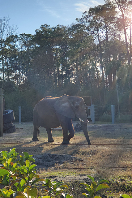 Elephant walking in an exhibit at Jacksonville Zoo