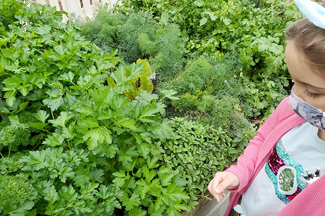 little girl looking at raised bed of herbs