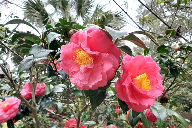 pink flowering pant