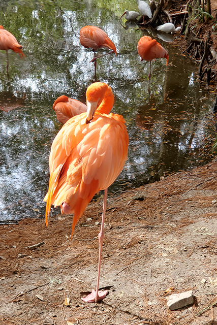 Flamingo standing on one foot