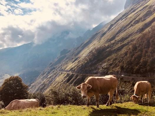 Kühe am Cirque du Litor