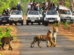 tigers-crossing-road-in-tadoba national park