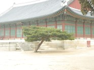 A Bonsai Tree in Gyeongbokgung Palace