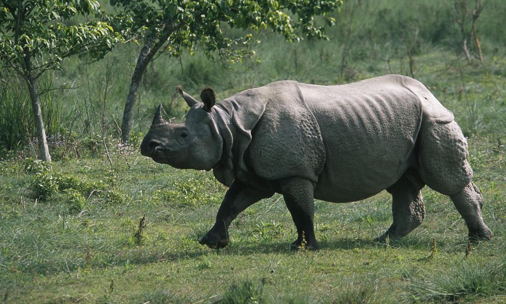 Assam One Horned Rhino Indian Rhinoceros Rhinoceros