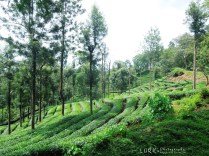 Tea Estates at Naduvattam - Gudalur