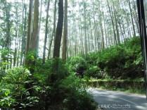 Eucalyptus Trees - Gudalur Ooty Road