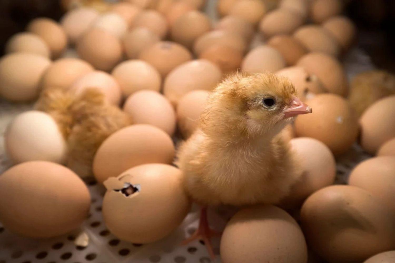 Tetas telur guna kuasa minda