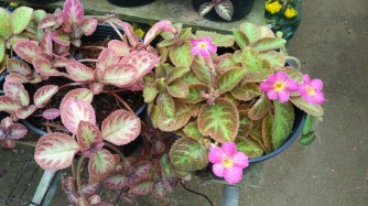 A type of African violet?