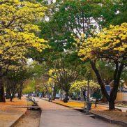 Araguaneyes en la Av. Las Delicias, en la llamada Ciudad Jardín. Foto @Regram / Imgrum.