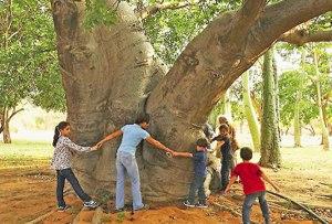 El baobab, una de las especies emblemáticas del JBM. Foto Panorama.com.ve