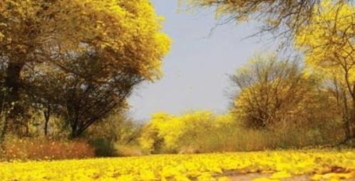 Una vez al año los araguaneyes despliegan una alfombra amarilla en el JBM. Foto Panorama.com.ve
