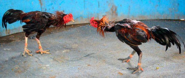 Dos gallos en plena pelea, actividad popular del estado Monagas. Patrimonio cultural de Venezuela.