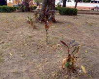Plantas marchitas por inoperatividad del sistema de riesgo. Foto M. Araque.