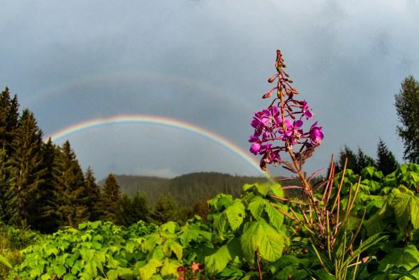 Fireweed, Rainbow, for sale, alaska, violet, color