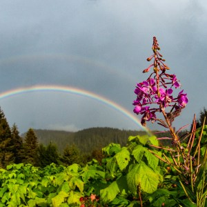 Fireweed, Rainbow, for sale, alaska, violet, color