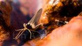 Mayfly - Acadia National Park