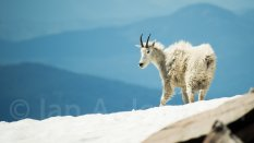 Mountain Goat - Scotchman's Peak, Idaho