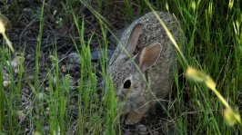 Cottontail Rabbit - Benton Lake NWR