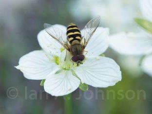 Sweat Bee