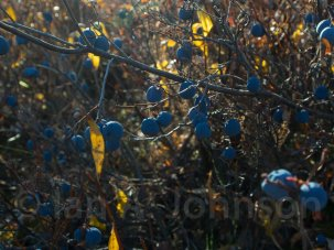 Wild Blueberry, Murphy Dome, AK