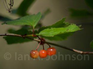 High bush cranberry - Ester Lake