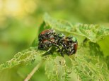 Invasive Japanese Beetle - Gilsland Farm, Portland, Maine